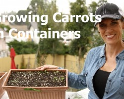 Growing Carrots in Containers – How to Thin Seedlings