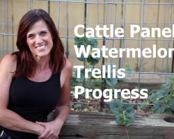 Cattle Panel Vertical Watermelon Trellis Progress