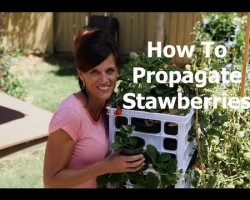 How To Plant Strawberry Runners, the Easiest Way to Propagate Strawberries