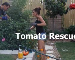 Tomato Cage Collapse and Rescue