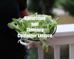 First Winter Garden Series #6 – How to Harvest and Thin Container Lettuce