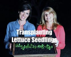 $10 Garden Series # 5 – How to Transplant Lettuce Seedlings into a Container