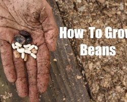 How To Grow Bush and Pole Beans