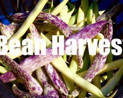 Bean Harvest – in 4 K