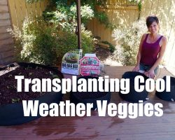 Growing Your Fall Garden #2 – Transplanting Cool Weather Vegetables in Containers