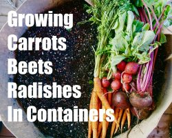 Growing Your Fall Garden # 3 – Growing Root Vegetables in Containers – Carrots, Radishes and Beets