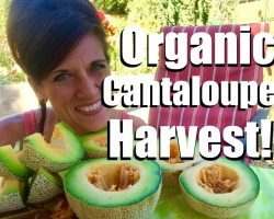 Organic Garden Cantaloupe Harvest  – This is Why We Do It!