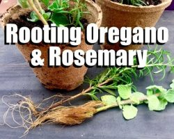 How to Have an Endless Supply of Oregano and Rosemary – Easy Propagating Tips