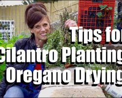 Cilantro Planting and Oregano Drying Tips  #1 // CaliKim Cam