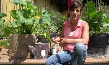 Growing Zucchini in Containers, Blossom End Rot, Powdery Mildew // Large Veggies in Containers #3