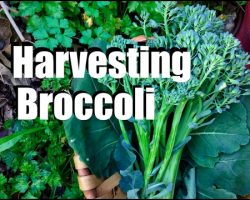 Harvesting Broccoli – When, How and TIps for Broccoli Flowers & Leaves
