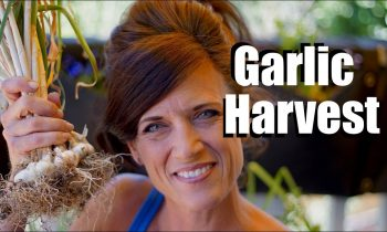 Harvesting Garlic – When and How