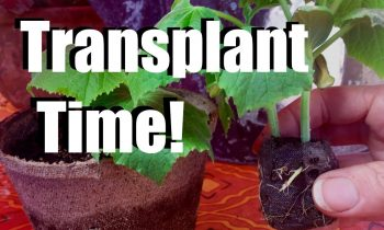 Transplanting Indoor Seedlings into Larger Containers  // $10 Garden Series #2, Season 2