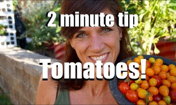 Three Quick and Simple Tips to Grow Lots of Tomatoes in the Summer Heat // CaliKim 2 Minute Tip