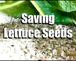 How to Save Lettuce Seeds (EASY & FREE) – Two Ways