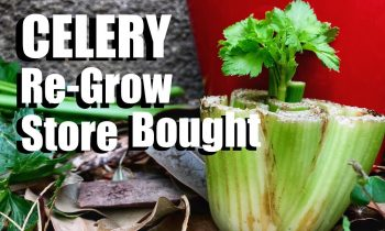 How to Grow Celery the Easy Way From Organic Store Bought Celery (Inside or Outside)