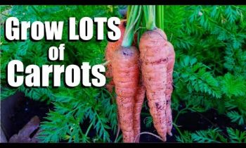 Grow LOTS of Carrots – 3 Tips