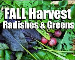 Harvesting Gorgeous Salad Greens & the Quickest Producing Radishes I've Ever Grown // Fall Garden #3