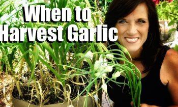 How to Know When Garlic is Ready to Harvest & Harvesting Garlic Scapes to Grow Larger Cloves