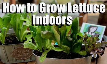 How to Grow Lettuce Indoors – Bring Your Garden INSIDE!