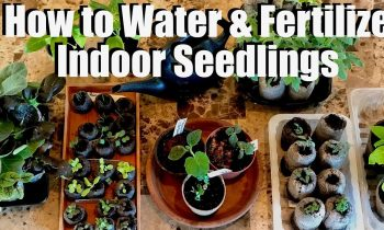 How & When to Water & Fertilize Indoor Seedlings & DIY Fungus Gnat Traps / Spring Garden Series #2