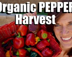 Organic Pepper Harvest, Gorgeous Colors / Fall 2017
