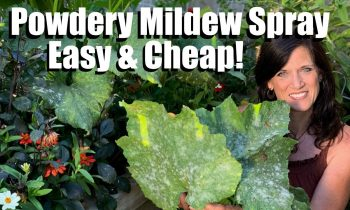 Easy, Inexpensive Powdery Mildew Spray for Squash & Cucumbers, Prune Leaves to Keep Production Going